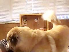 Dog cum snowllballing Caledonian